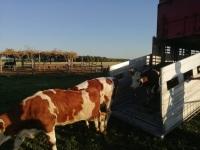 Ввоз импортного скота